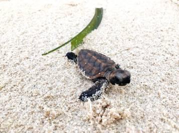 baby-sea-turtle-4