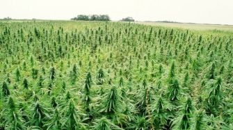 Hemp Could Free Us From Oil, Prevent Deforestation, Cure Cancer and It's Environmentally Friendly – So Why Is It Illegal?