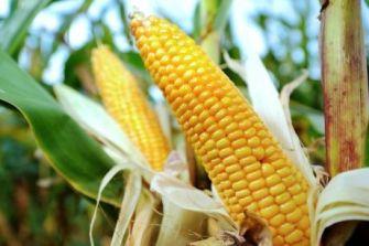Mexico Bans GMO Corn