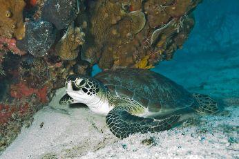 Green_Sea_Turtle_Biscayne