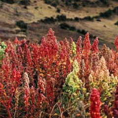 Quinoa: A Future Sown Thousands of Years Ago