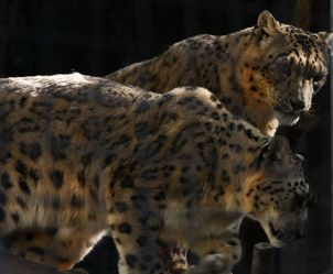 Snow_Leopards2