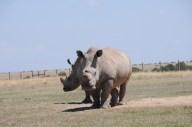 White Rhinos - the James Bond stance
