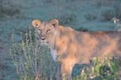 The fierce Masai Lioness