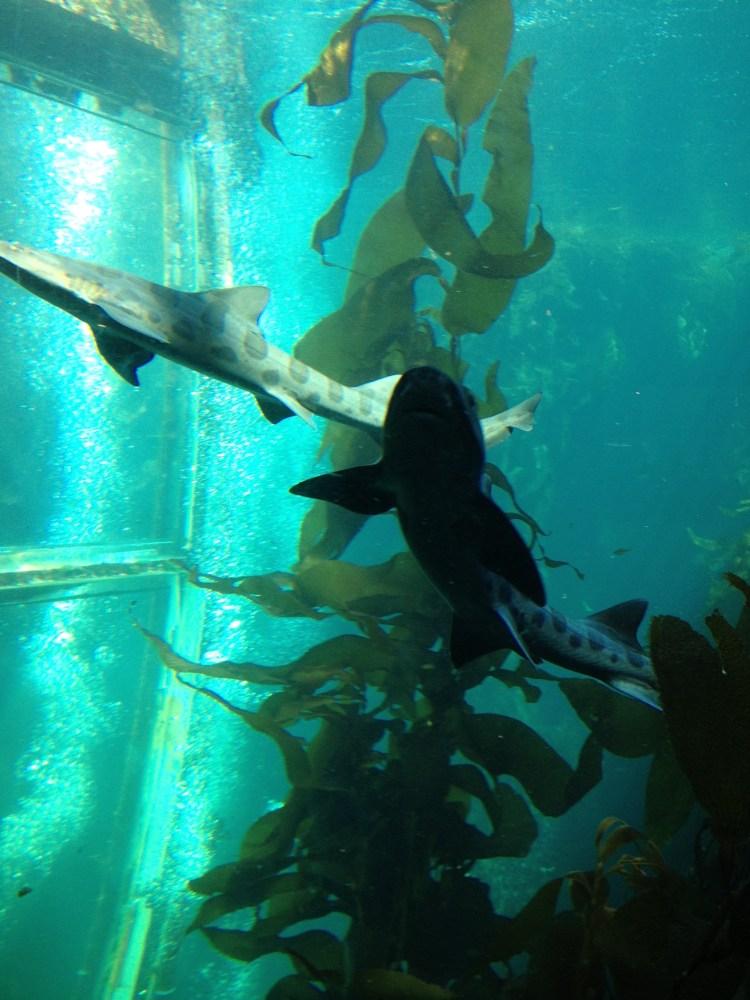 Sharks at the Monterey Bay Aquarium