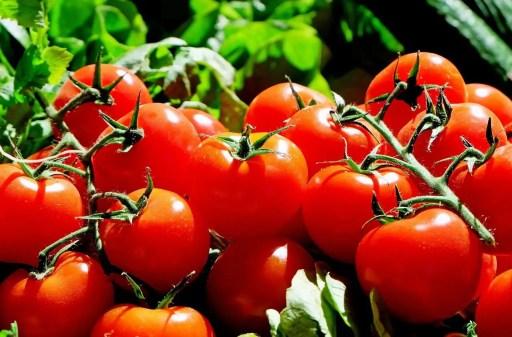 tomato growing season