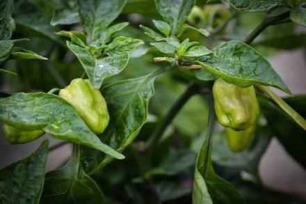 Capia Pepper