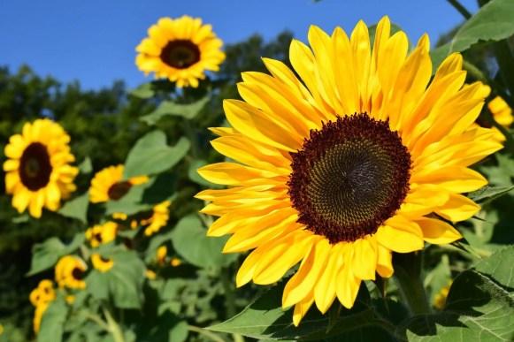 sunflower planting