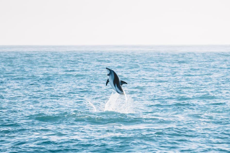 Jumping Dolphin Kaikoura Encounters New Zealand