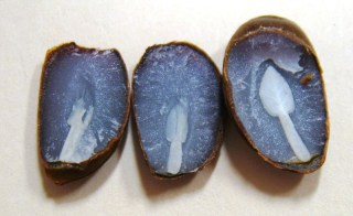 Cut open a persimmon seed and you'll find a fork, left; a knife, middle; or a spoon, right. Lots of spoons are a sign of a snowy winter. Photo by Seth Nagy for the Salisbury Post