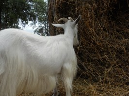 except Angel - she is the only smart one to listen to me and eat at the alfalfa bale