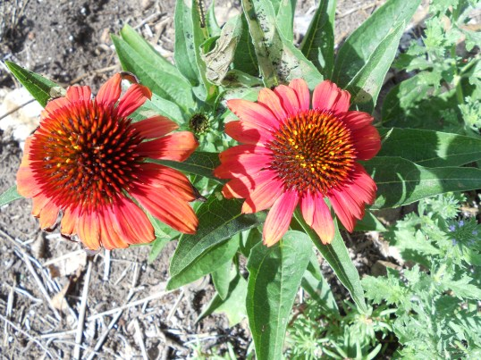 a crimson Echinacea that gre this year - I didn't even know I had this color!