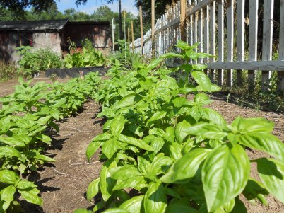 Sweet Basil ready to be harvested again