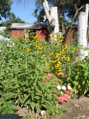 stevia, rudbeckia, rose moss, buddleia & yes more v. tomatoes