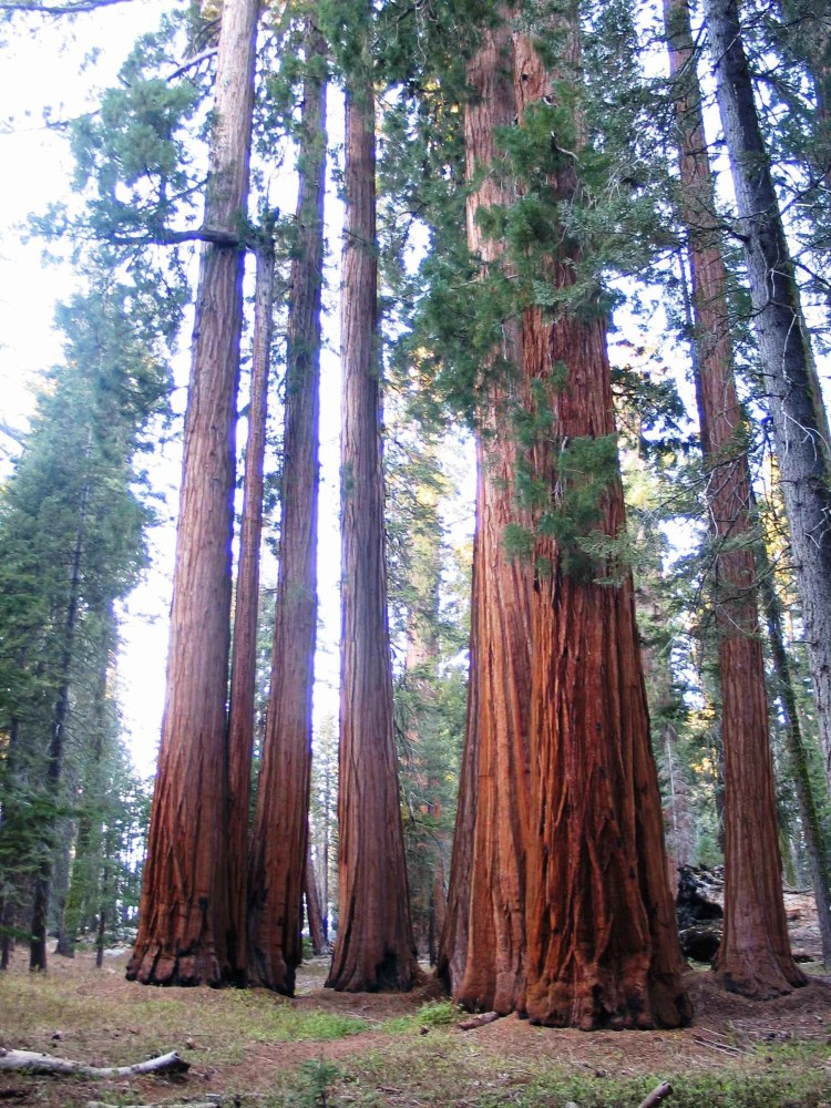 Tall sequoia trees during summer
