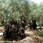 garden-of-gethsemane-600x