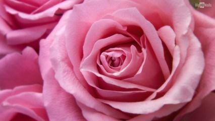 pink-rose-closeup-hd-wallpaper003