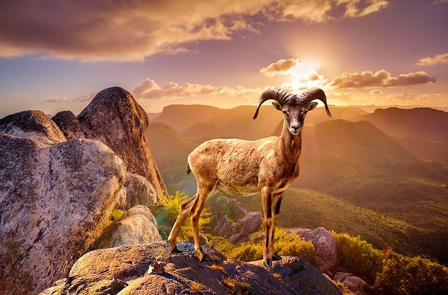goat on a mountain