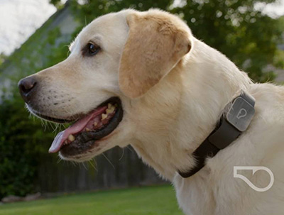 Dog Wearing GPS Tracker