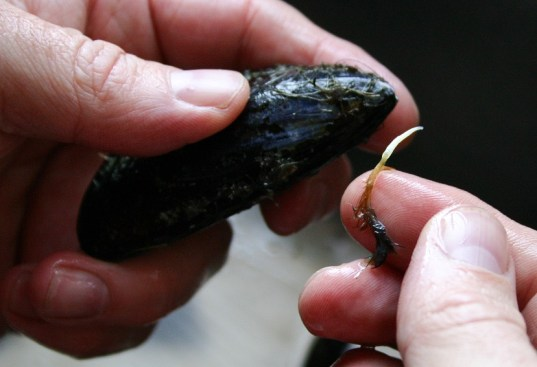The Good Greeff- remove the beards from fresh mussels before cooking