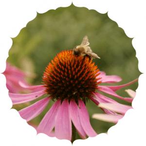 bee pollinating organic echinacea flowers