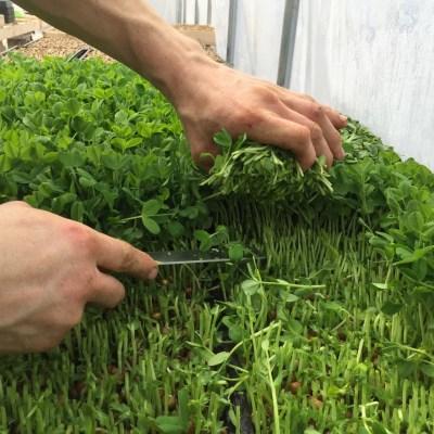 harvesting organic pea shoots