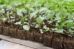 organic kohlrabi seedlings in soil block