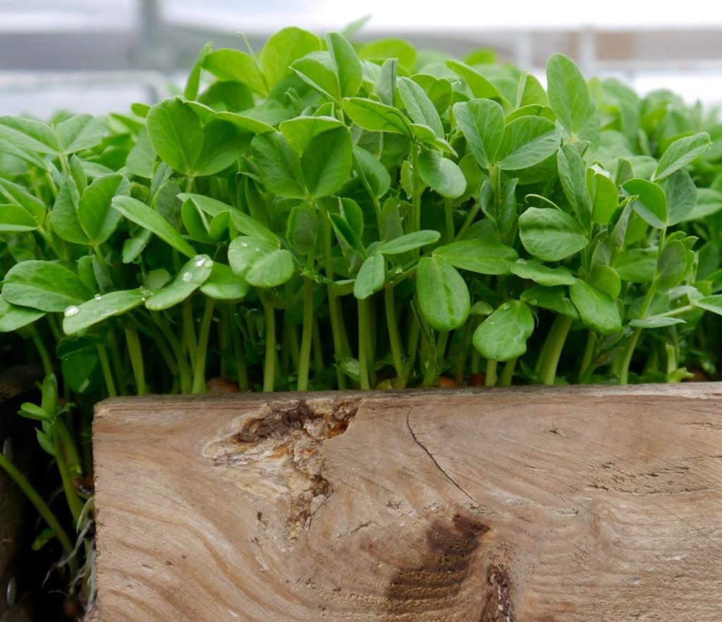 organic pea shoots