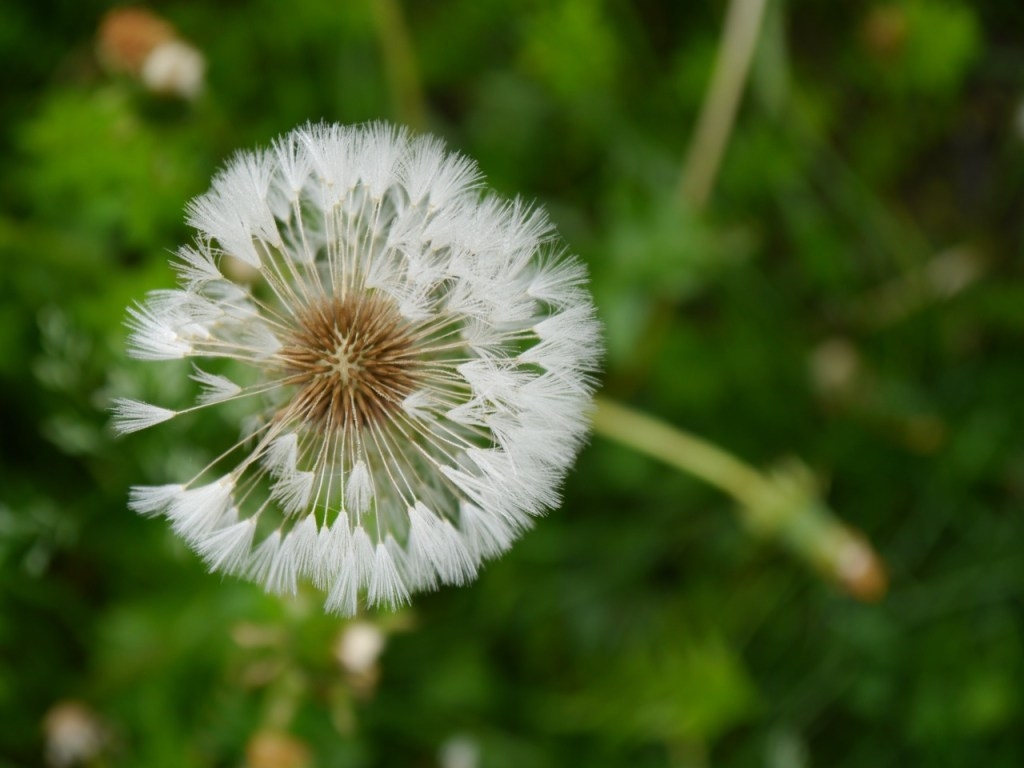 Dandelion gone to seed, savoring and saving the world