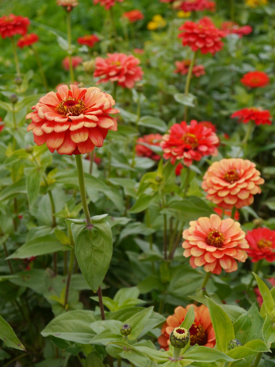 Organic Coral Zinnias Growing In The Cut Flower Garden