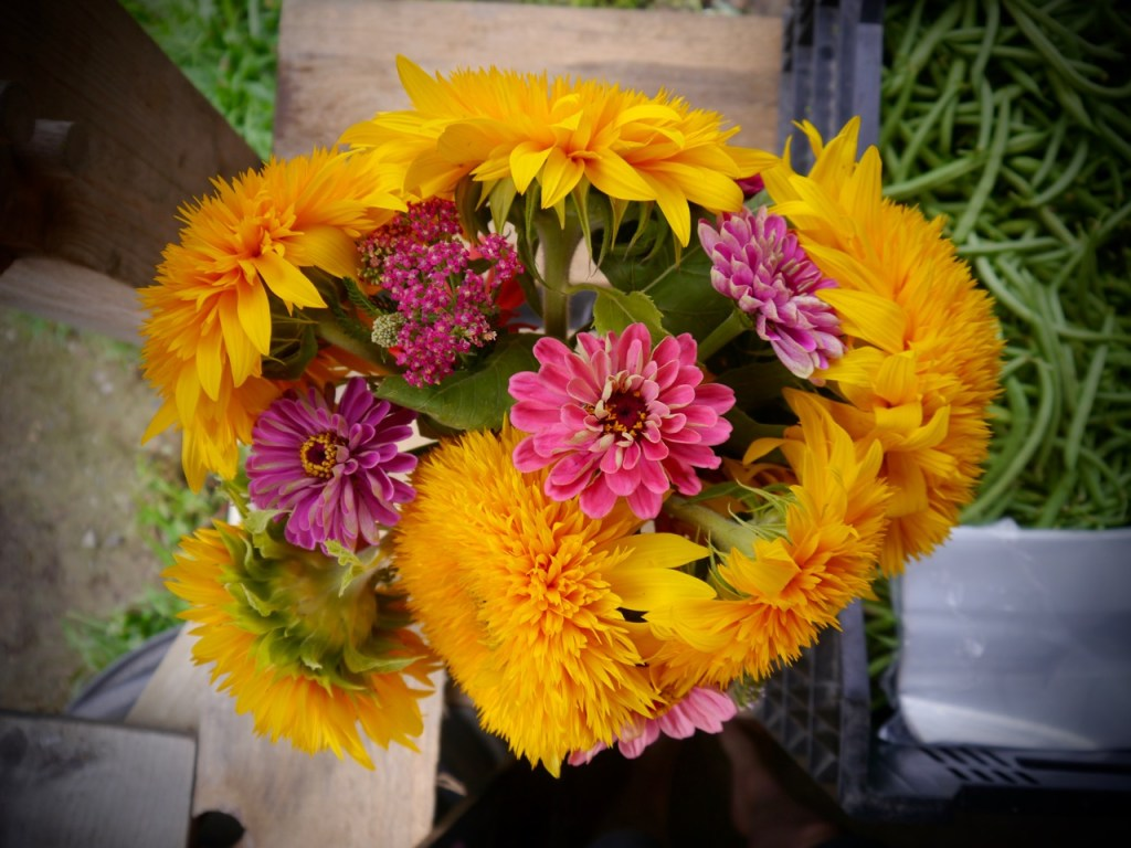 Organic Cut Flower bouquet with Goldy Double Sunflowers and Coral Zinnias, both easy to grow varieties