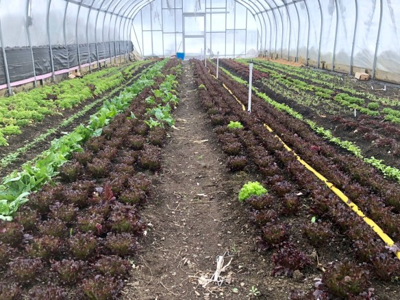 Organic lettuce and spinach in the greenhouse
