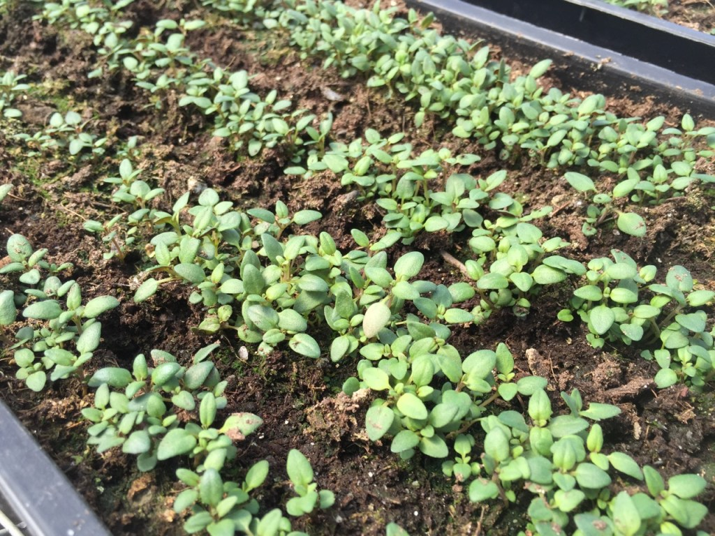 Growing organic thyme, a perennial herb, in flats