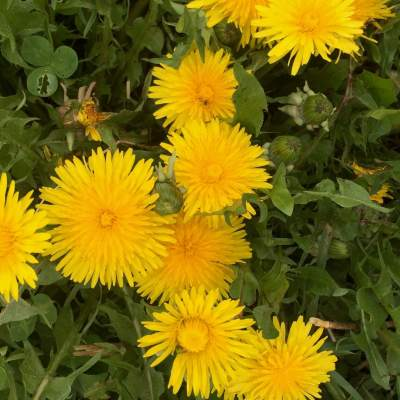 Dandelions in bloom, make dandelion pesto for a delicious wild edible treat