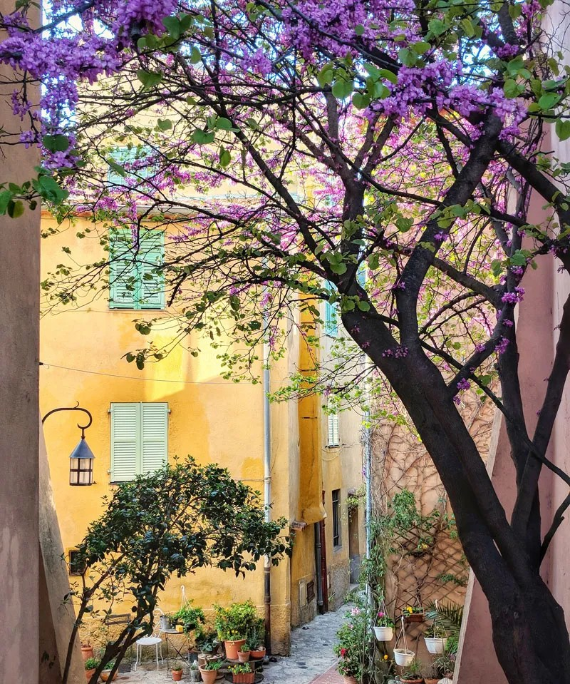 Deep purple blossoms of a tree against a yellow wall of a house in Provence create a beautiful contrast
