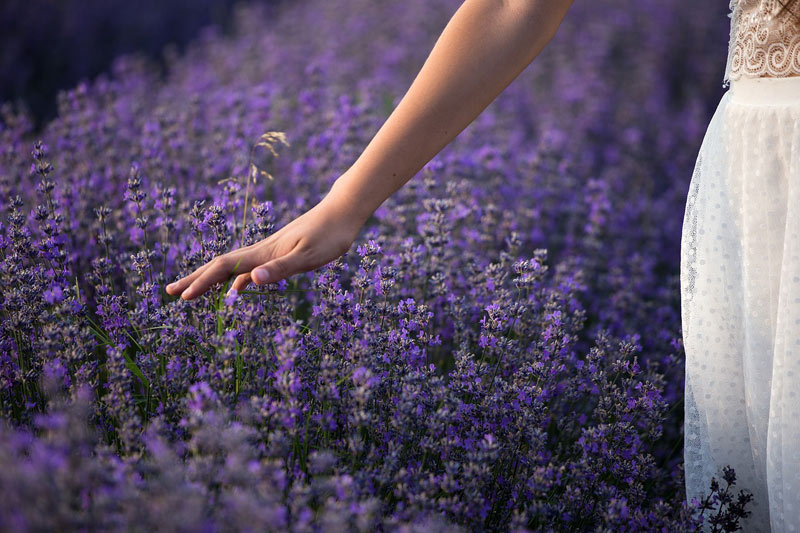 Woman walks through a lavender field, brushing the full blooms with her outstretched hand