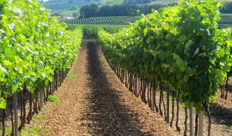Row after row of grape vines in Cognac
