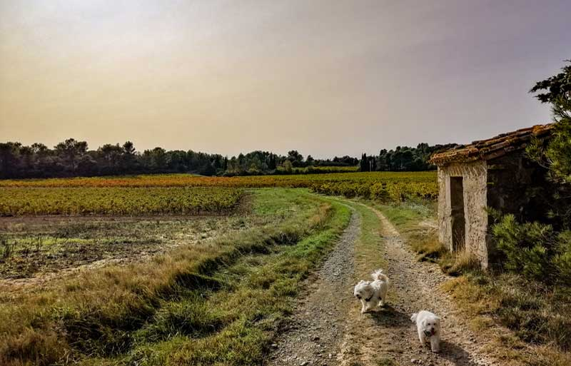 Two dogs take a walk along a countryside track at sunset in Aude, France
