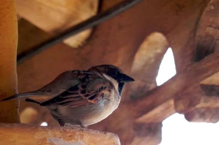 Gujarat_Bhuj_Pragmahal_Sparrow - The colours of Kutch