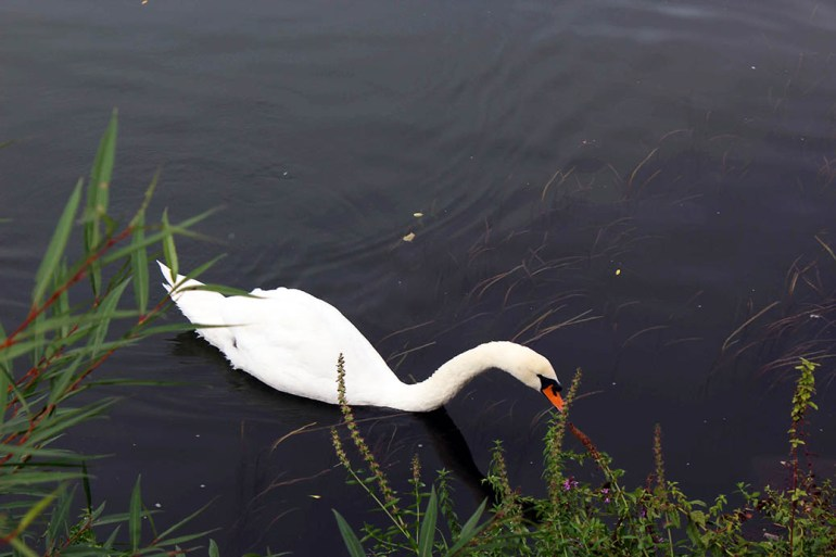 Wuerzburg - Swan