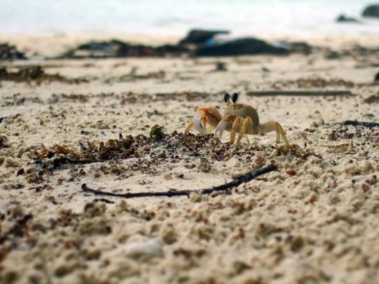 Andamans-Havelock-Ghost crab