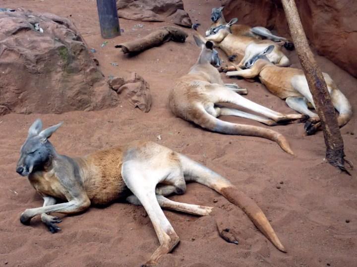 Sydney - Kangaroos