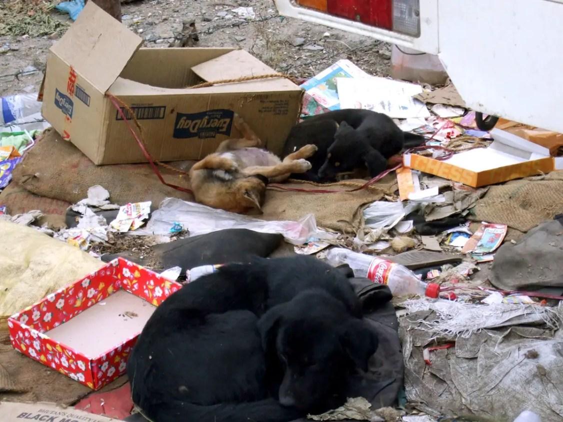 Doggies in rubbish, Thimphu, Bhutan- responsible traveller