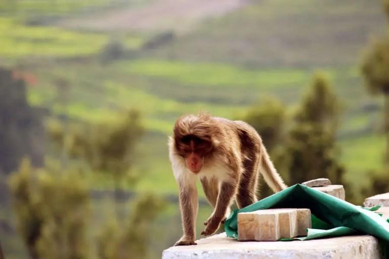 Coonoor - Investigating monkey.jpg