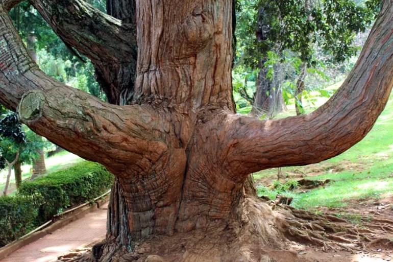 Coonoor - Sims Park - Turpentine tree.jpg