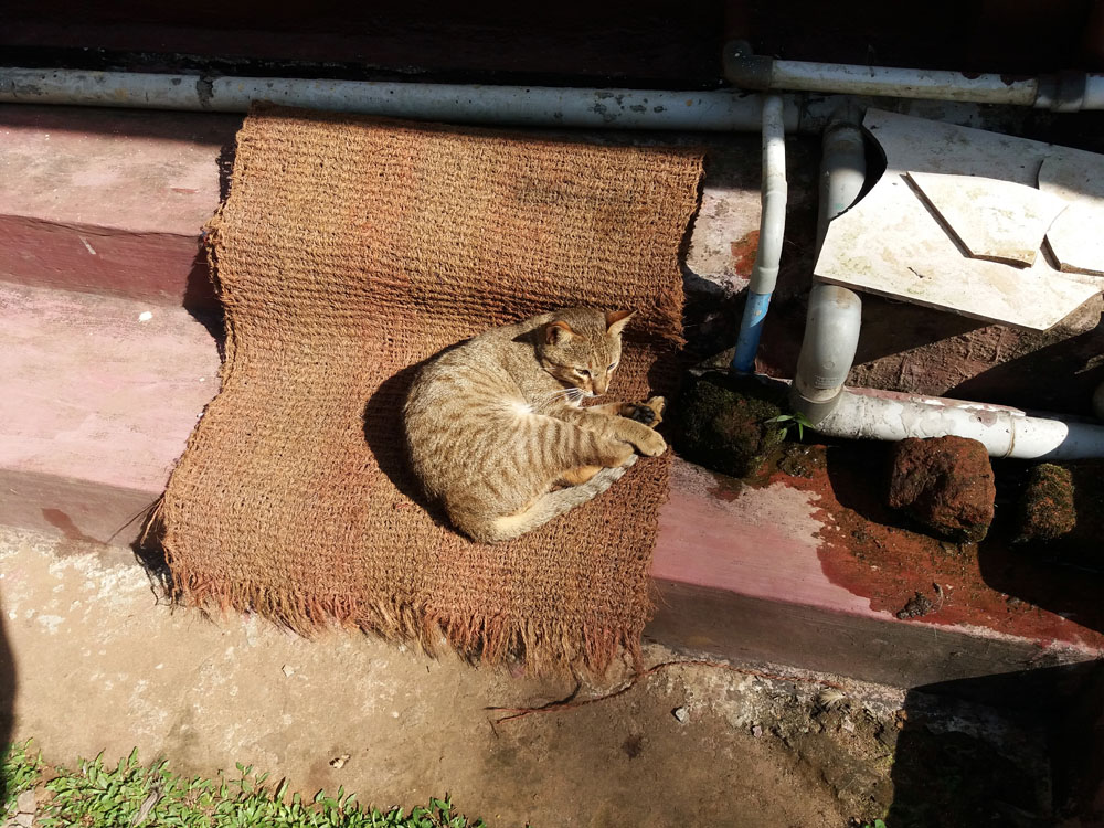 Coorg - Depot estate - Cat
