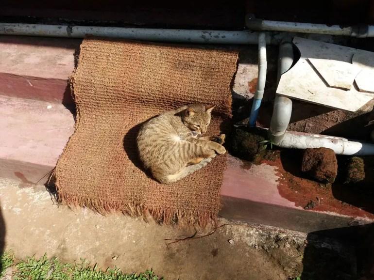 Coorg - Depot estate - Cat