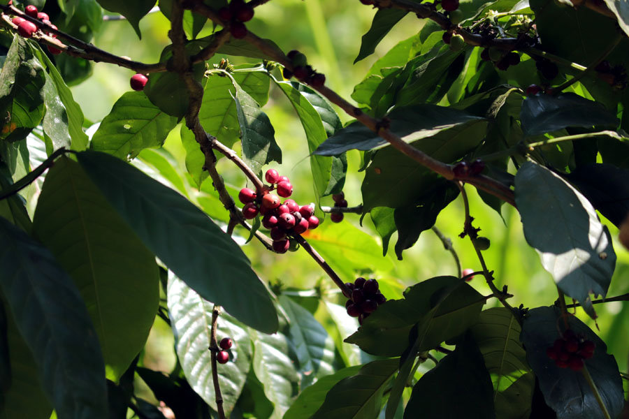 Valparai - Coffee berries - In the shadow of elephants in Valparai