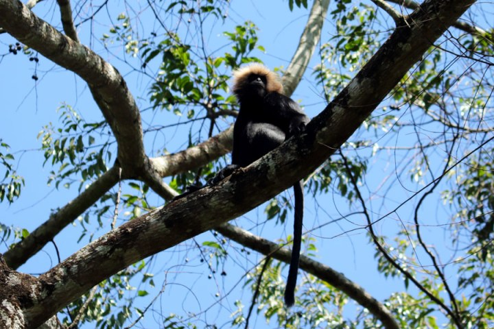Valparai - Langur - In the shadow of elephants in Valparai