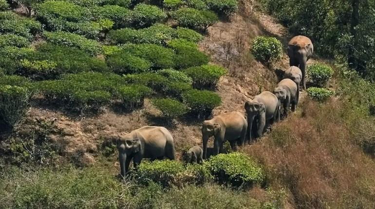 Valparai - NCF - Elephants in the tea estate.jpg